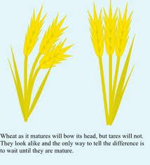 Wheat bows as it is laden with heavy fruit while tares is light and upright at harvest time