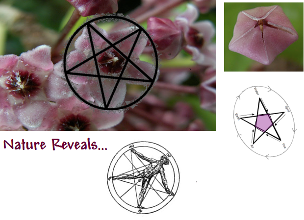 The Hoya Carnosa flower is shown up close, exposing its 5-pointed star shape as in DaVinci's Divine Man diagrams