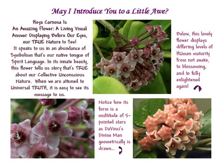 Various Pictures of a Hoya Carnosa Flower with snippets of info showing how it beautifully symbolizes HUmanity as Divine Beings